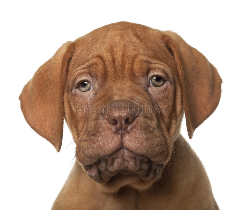 Filhote de cachorro de Dogue de Bordéus, 8 semanas velho foto de stock royalty free