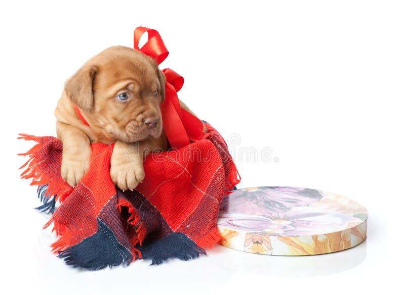 Filhote de cachorro de Dogue de Bordéus (mastiff francês) imagem de stock