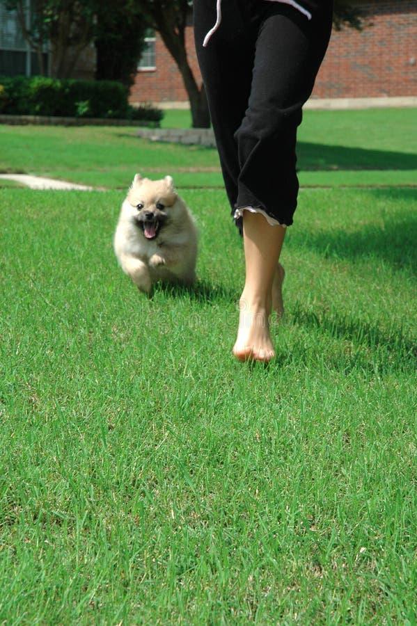 Filhote de cachorro de funcionamento de Pomeranian fotografia de stock