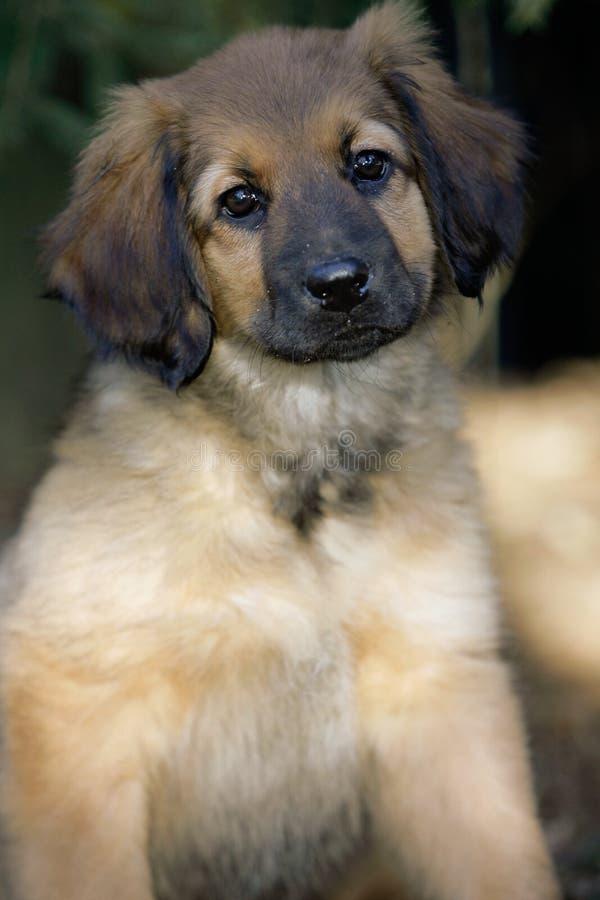 Filhote de cachorro de Hovawart foto de stock