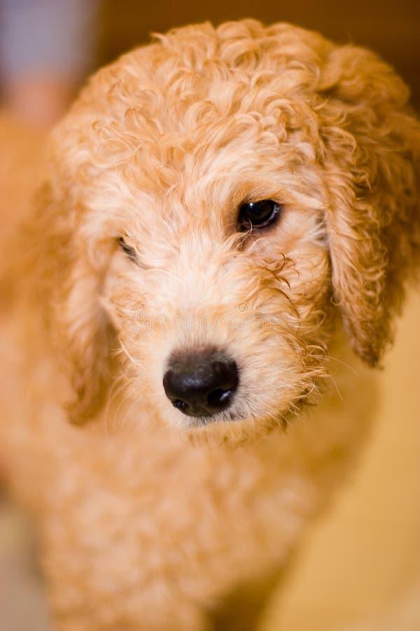 Filhote de cachorro de Labradoodle foto de stock