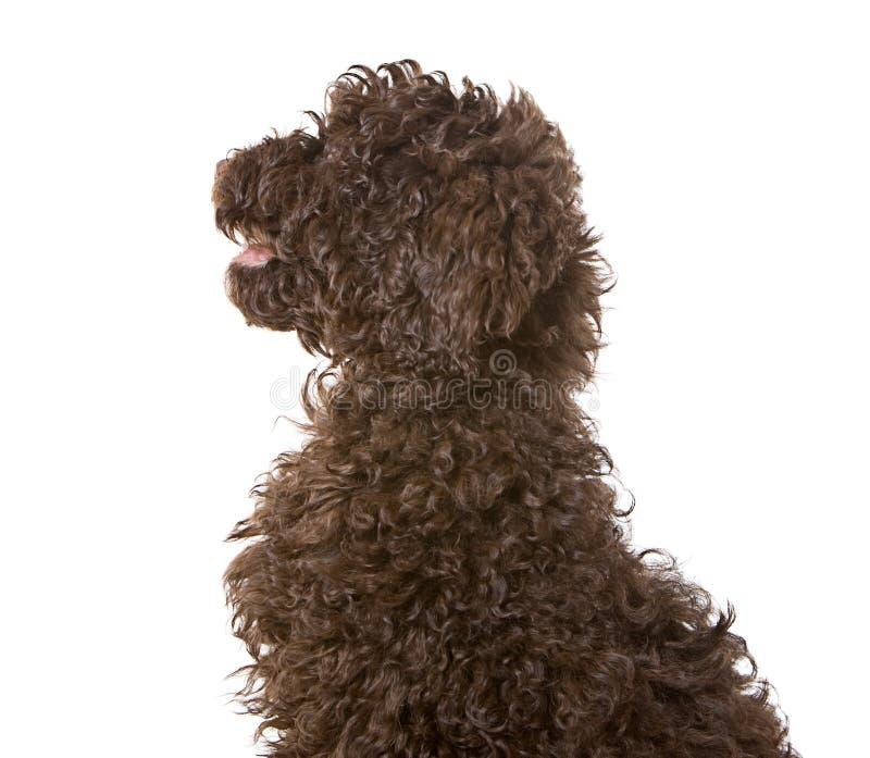 Filhote de cachorro de Labradoodle do chocolate imagem de stock royalty free