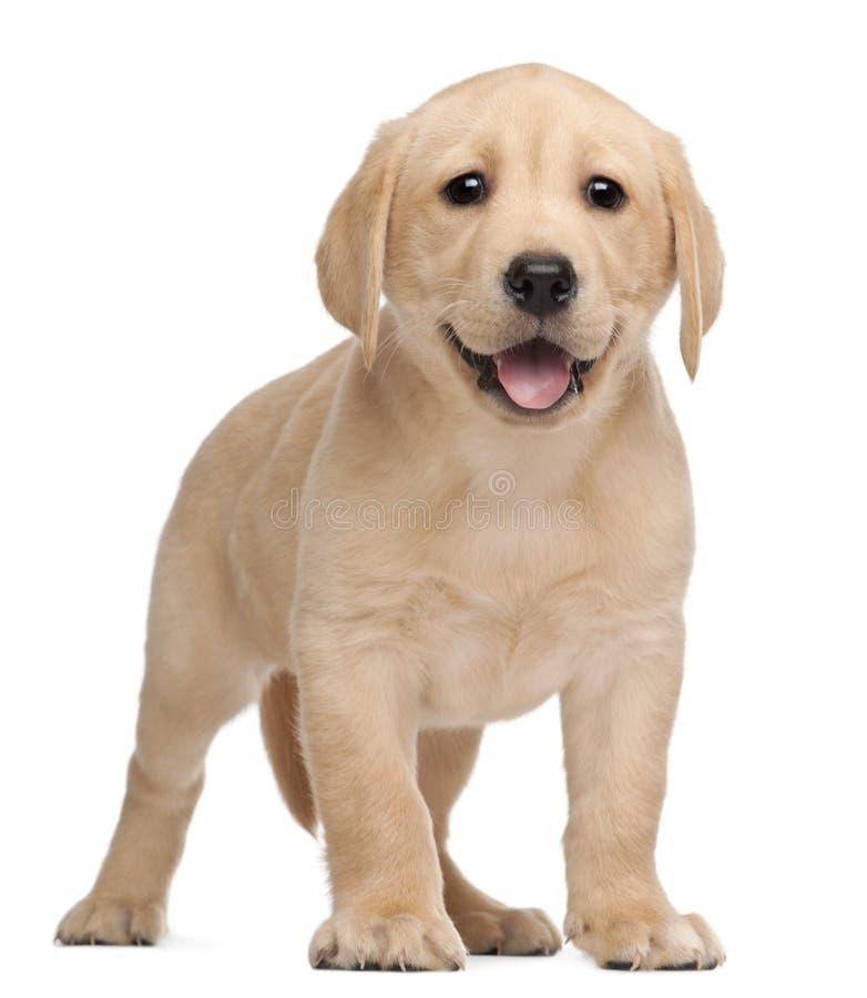 Filhote de cachorro de Labrador, 7 semanas velho fotografia de stock
