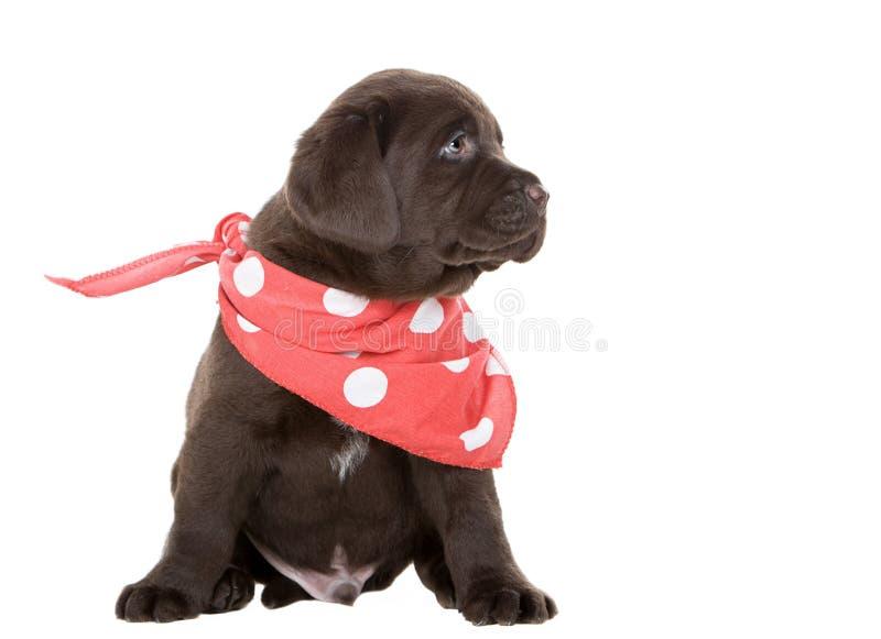 Filhote de cachorro de Labrador do chocolate no lenço da garganta foto de stock royalty free