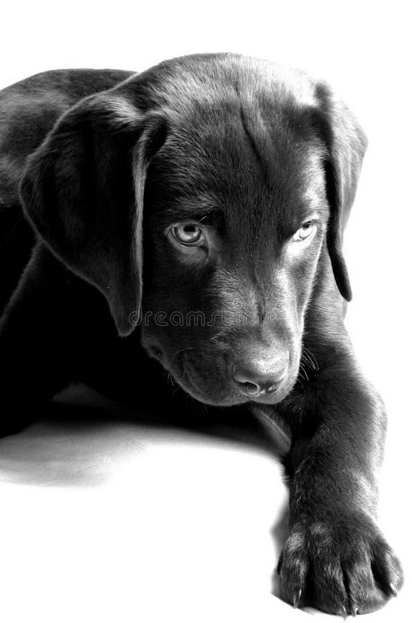 Filhote de cachorro de Labrador - olhar brincalhão imagens de stock