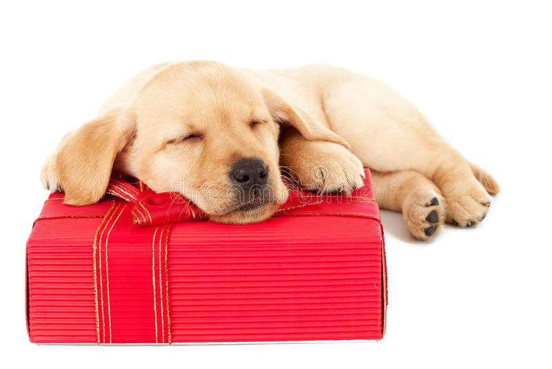 Filhote de cachorro de Labrador que dorme em um presente imagem de stock