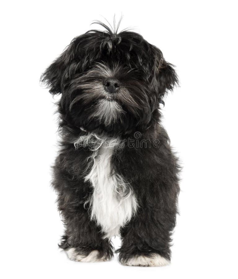 Filhote de cachorro de Lhasa Apso (4 meses velho) fotografia de stock