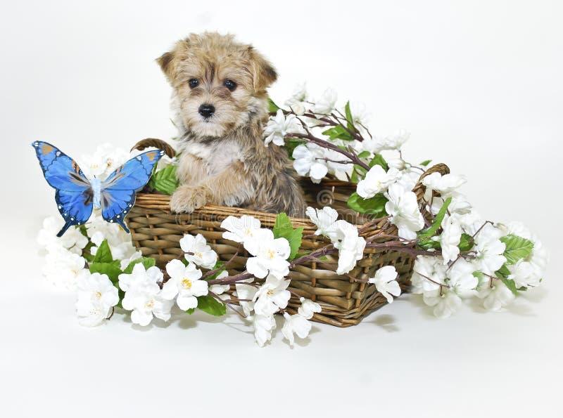 Filhote de cachorro de Morkie na cesta com borboleta azul foto de stock
