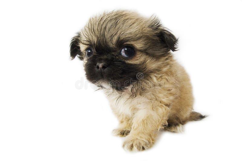 Filhote de cachorro de Pekingese imagem de stock