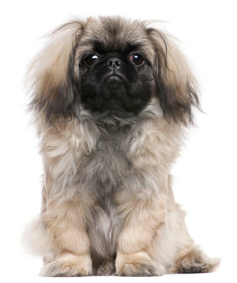 Filhote de cachorro de Pekingese, 6 meses velho, sentando-se fotos de stock royalty free