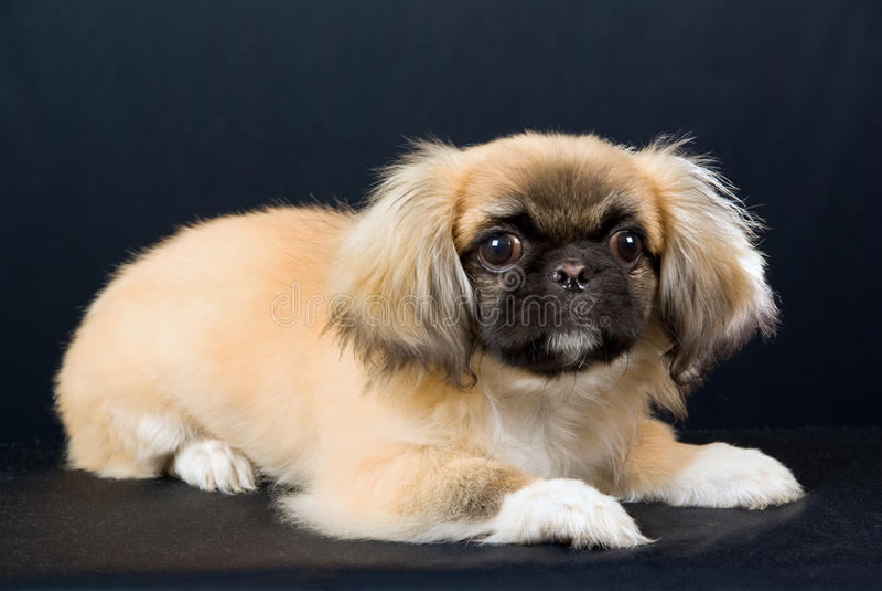 Filhote de cachorro de Pekingese no fundo preto foto de stock