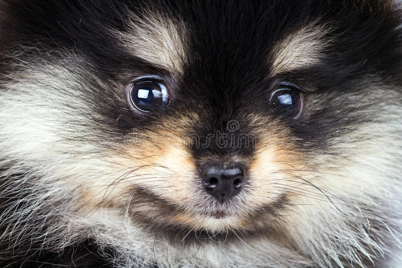 Filhote de cachorro de Pomeranian fotos de stock royalty free