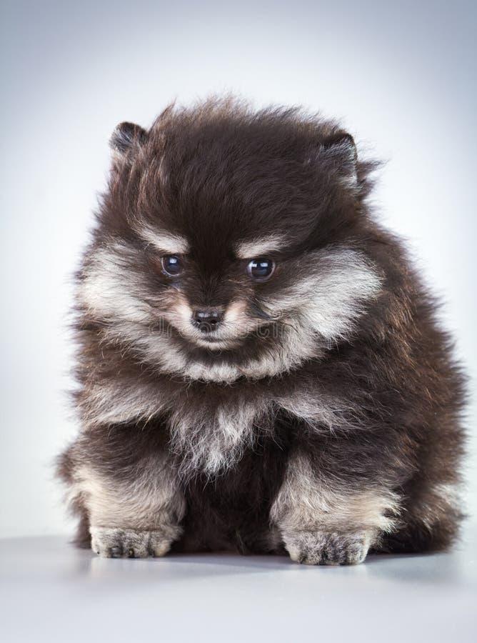 Filhote de cachorro de Pomeranian imagem de stock