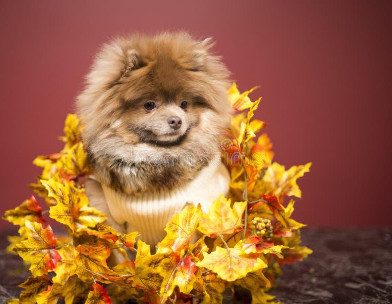 Filhote de cachorro de Pomeranian fotografia de stock