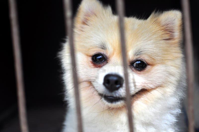 Filhote de cachorro de Pomeranian fotografia de stock royalty free