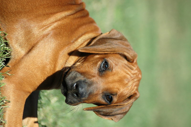 Filhote de cachorro de Rhodesian imagens de stock royalty free
