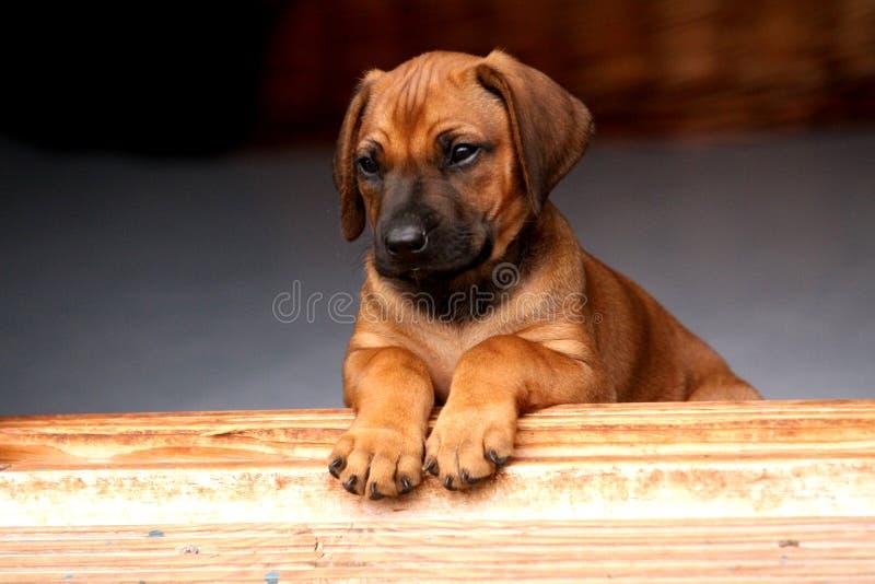 Filhote de cachorro de Rhodesian Ridgeback fotografia de stock
