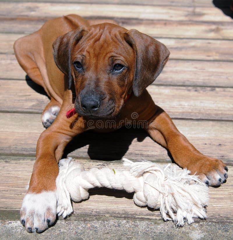 Filhote de cachorro de Rhodesian Ridgeback fotografia de stock royalty free