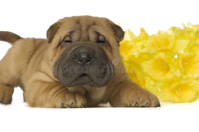 Filhote de cachorro de Shar-Pei imagens de stock royalty free