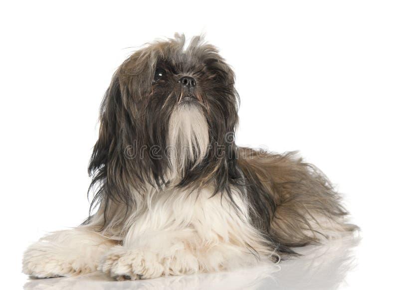 Filhote de cachorro de Shih Tzu (8 meses velho) fotografia de stock royalty free