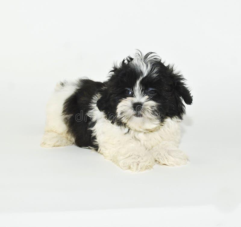 Filhote de cachorro de Shih-Tzu que dá um olhar mau. imagens de stock royalty free