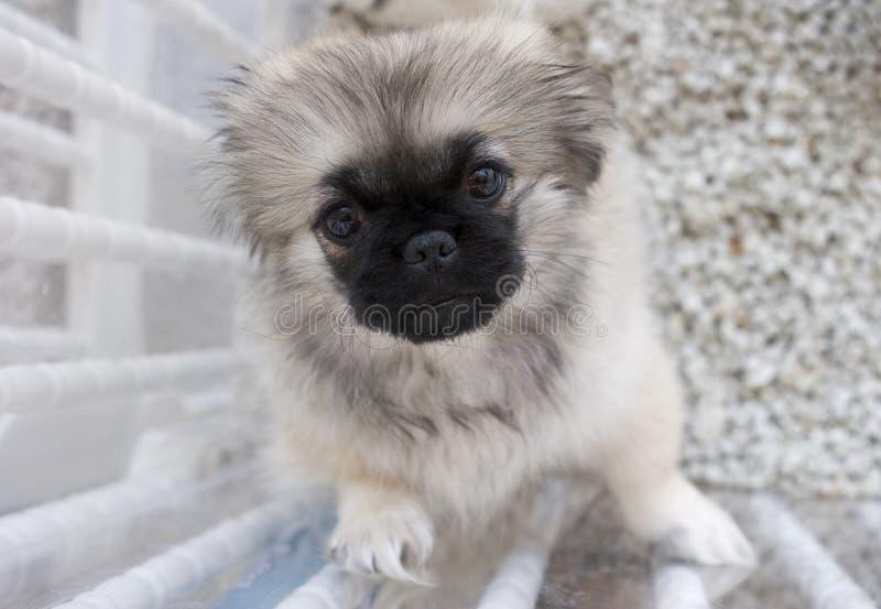 Filhote de cachorro de Shitzu imagens de stock royalty free