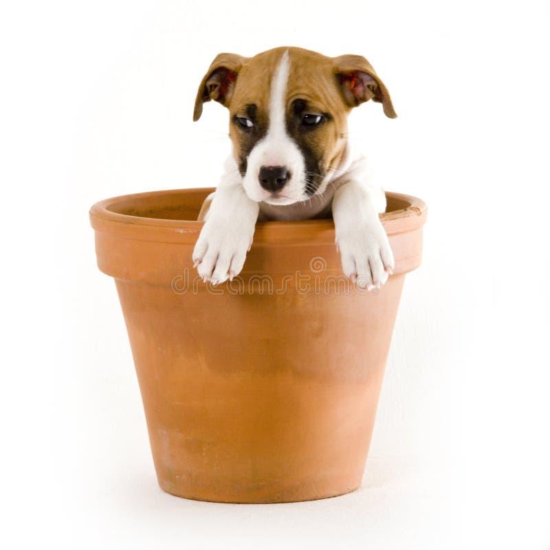 Filhote de cachorro de Stafford foto de stock