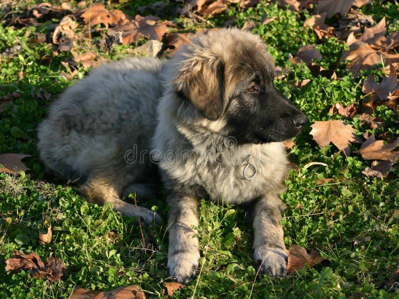 Filhote de cachorro de Terra Nova imagens de stock royalty free
