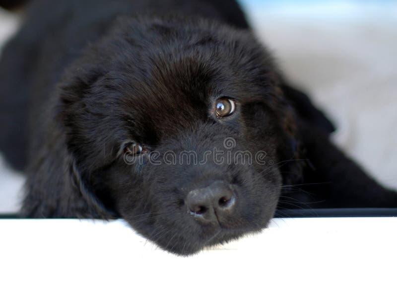Filhote de cachorro de Terra Nova imagens de stock