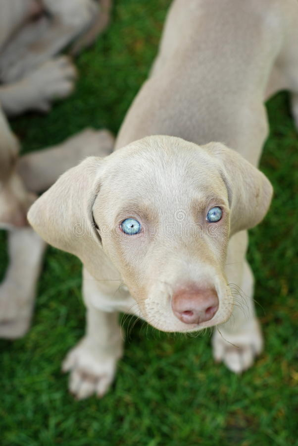 Filhote de cachorro de Weimaraner foto de stock