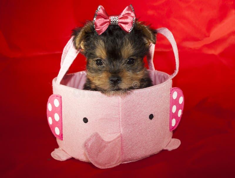 Filhote de cachorro de Yorkie foto de stock royalty free