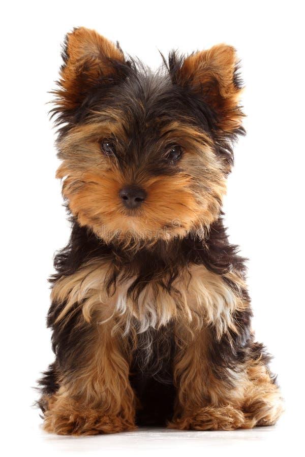 Filhote de cachorro de Yorkshire foto de stock royalty free