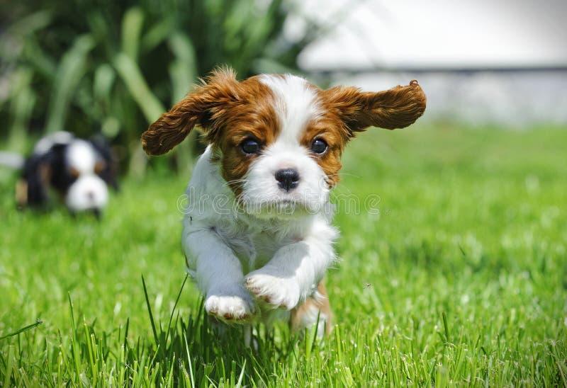 Filhote de cachorro descuidado do Spaniel de rei Charles imagens de stock