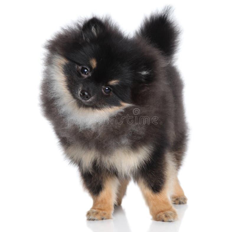 Filhote de cachorro diminuto do spitz no fundo branco imagem de stock