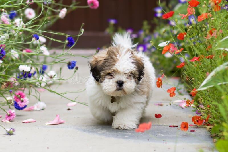 Filhote de cachorro do apso de Lhasa imagens de stock royalty free