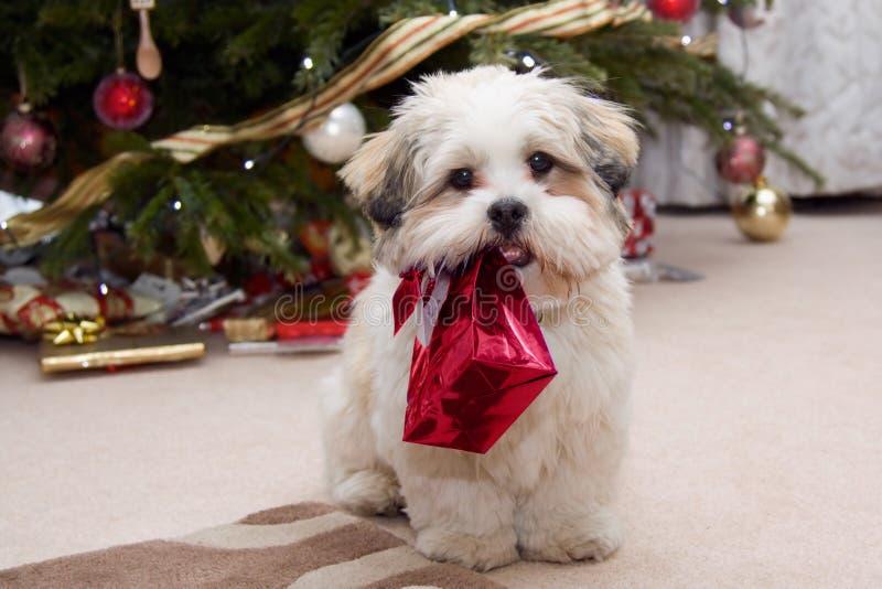 Filhote de cachorro do apso de Lhasa no Natal foto de stock royalty free