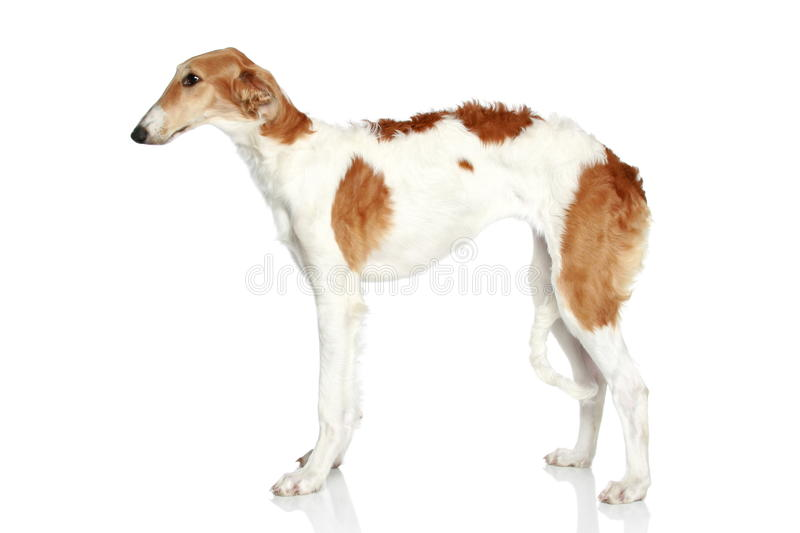 Filhote de cachorro do Borzoi do russo (5 meses). Vista lateral fotos de stock royalty free