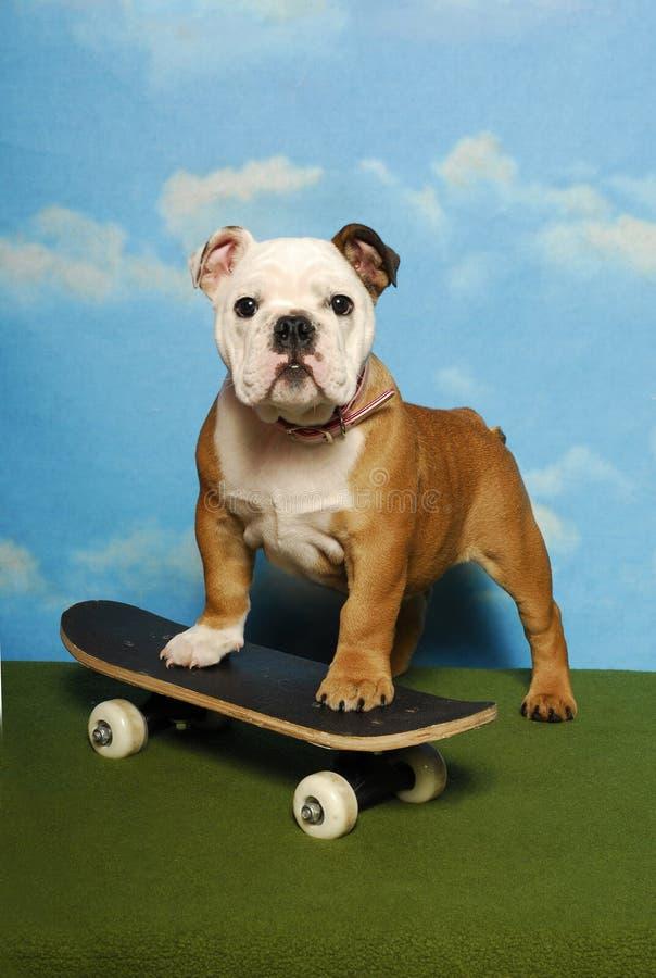 Filhote de cachorro do buldogue em uma placa do patim fotografia de stock