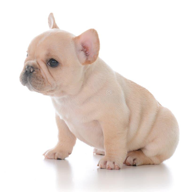 Filhote de cachorro do buldogue francês imagem de stock