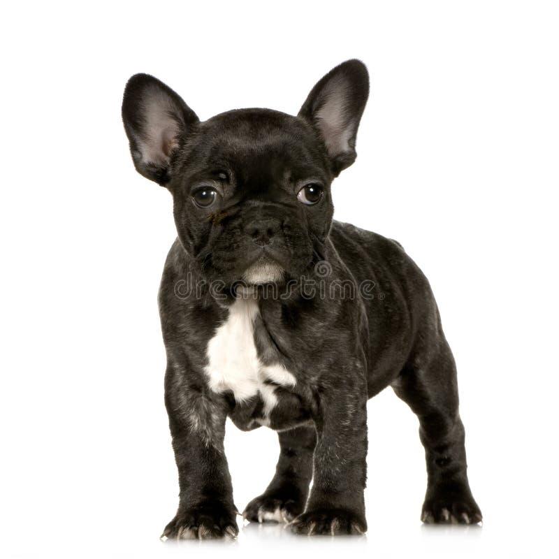 Filhote de cachorro do buldogue francês imagens de stock royalty free