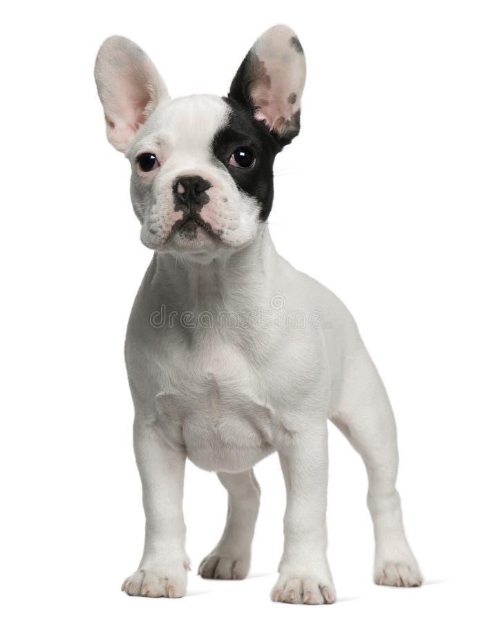 Filhote de cachorro do buldogue francês, 3 meses velho, posição fotos de stock