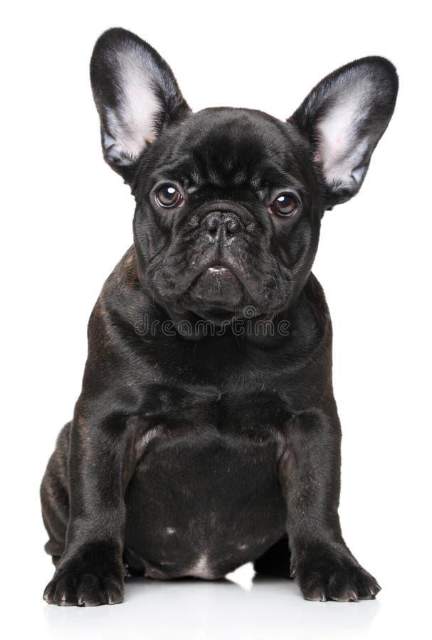 Filhote de cachorro do buldogue francês foto de stock