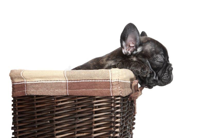 Filhote de cachorro do buldogue francês na cesta sobre o fundo branco imagens de stock
