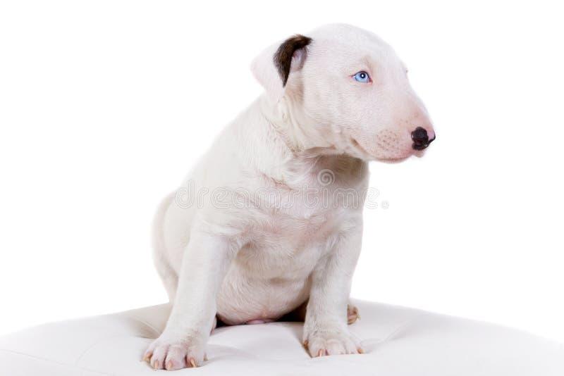 Filhote de cachorro do Bullterrier foto de stock royalty free