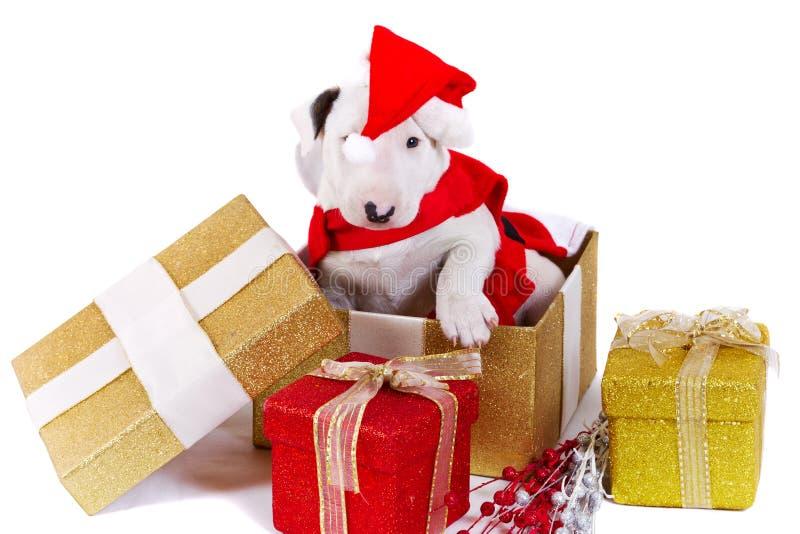 Filhote de cachorro do Bullterrier na caixa de presente do Natal fotografia de stock royalty free