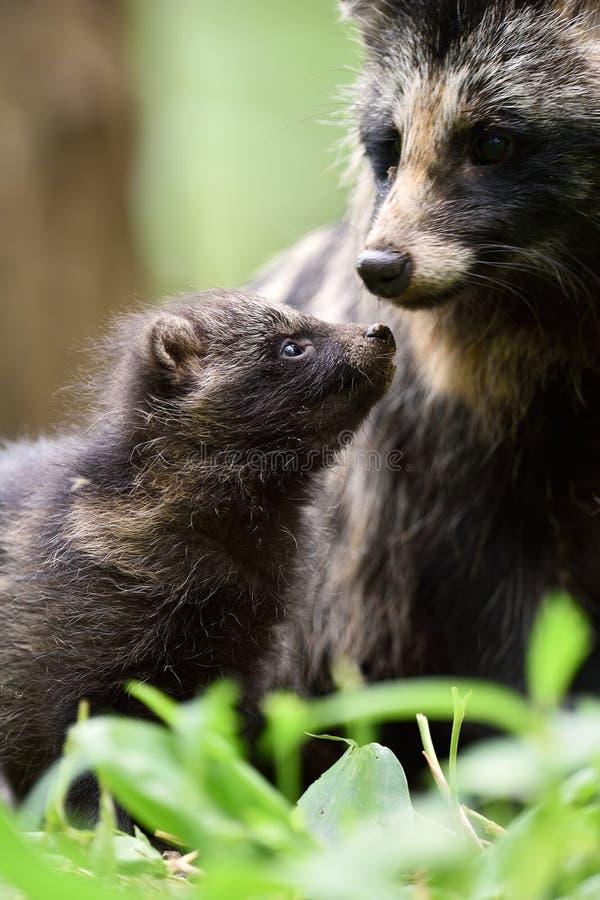 Filhote de cachorro do cão de guaxinim com mãe fotografia de stock royalty free