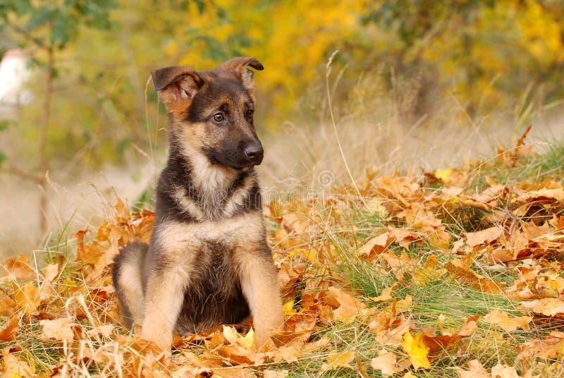 Filhote de cachorro do cão de pastor alemão imagem de stock