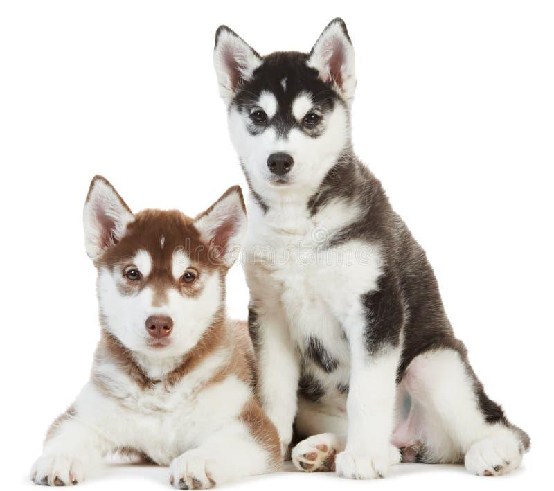 Filhote de cachorro do cão de puxar trenós dois Siberian isolado foto de stock royalty free