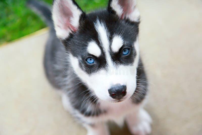 Filhote de cachorro do cão de puxar trenós Siberian imagem de stock