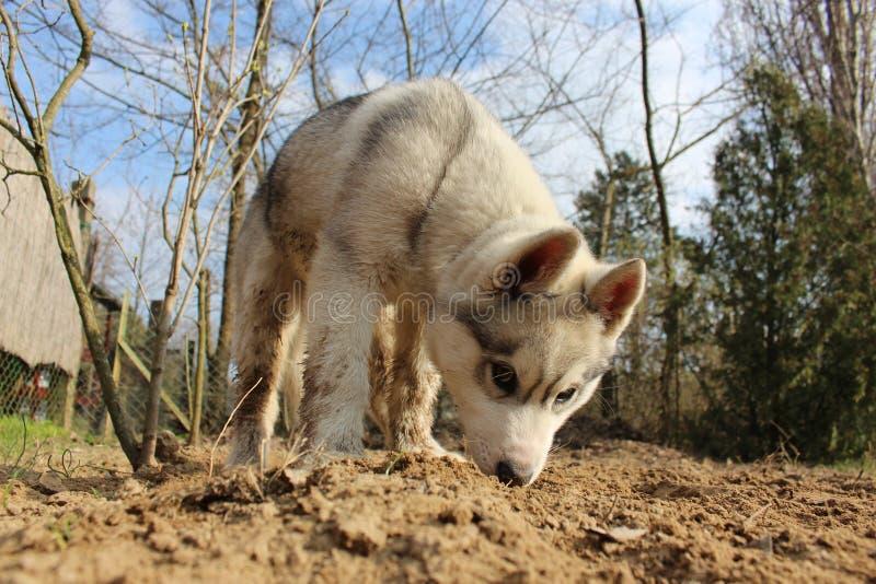 Filhote de cachorro do cão de puxar trenós Siberian foto de stock